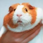 Почему морская свинка – свинка