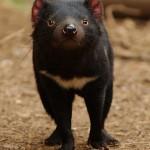Сумчатый дьявол (тасманийский дьявол)