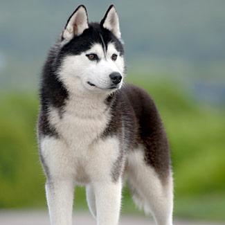 Породы собак. Сибирский хаски