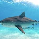 Тигровая акула — гроза тропических морей