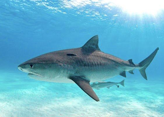 Тигровая акула - гроза тропических морей