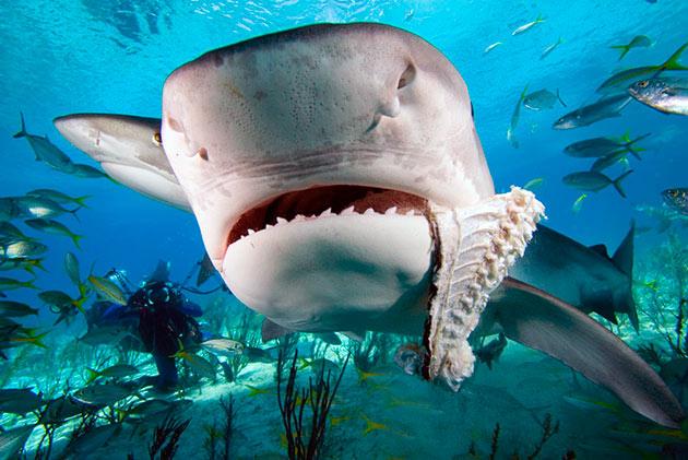 При сильном чувству голода тигровая акула может съесть что угодно - своих сородичей, падаль, жестяные банки и тд.