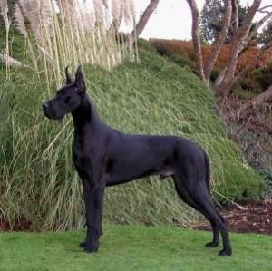 фото собак. порода дог