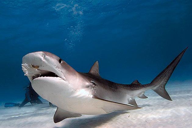 Основной рацион питания тигровой акулы - морские обитатели, но бывает что акула может поймать зазевавшуюся птицу