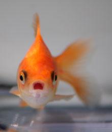 Золотая рыбка в домашнем аквариуме