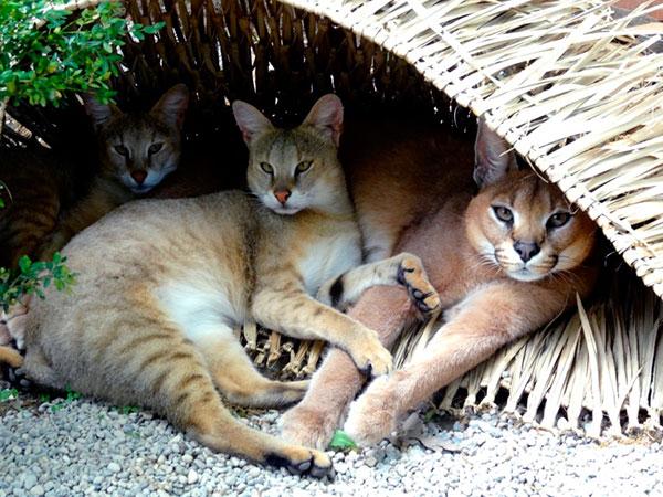 образ жизни камышового кота
