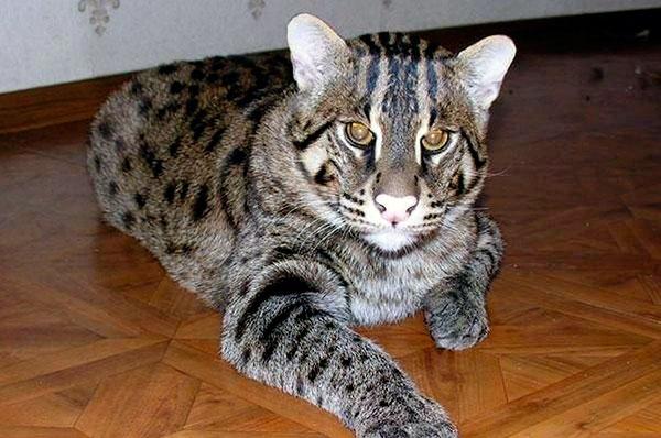 Внешние отличия камышового кота