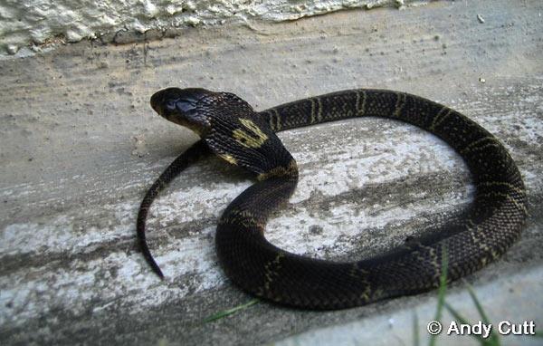 Китайская кобра - фото