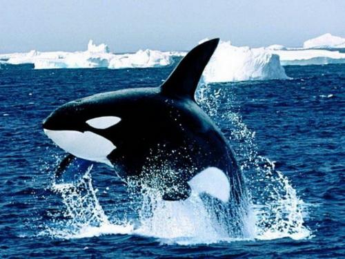 Косатка кит или дельфин?