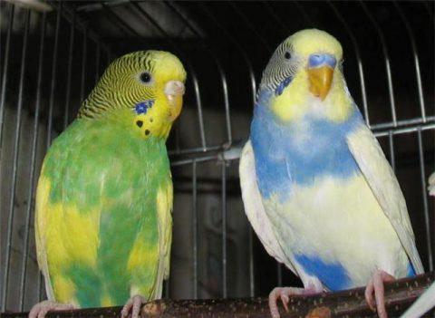 Болезни и лечение волнистых попугаев