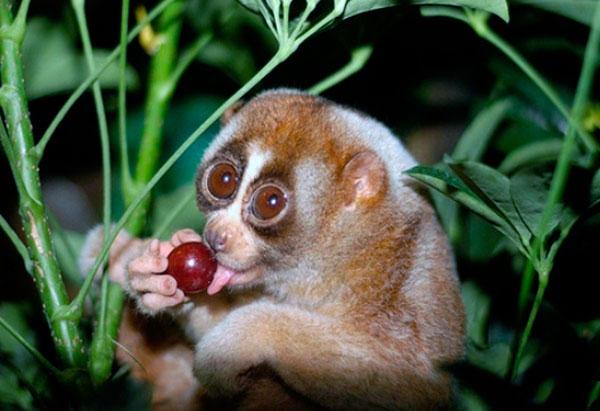 Питания лори включает в себя как живые организмы, так и пищу растительного происхождения