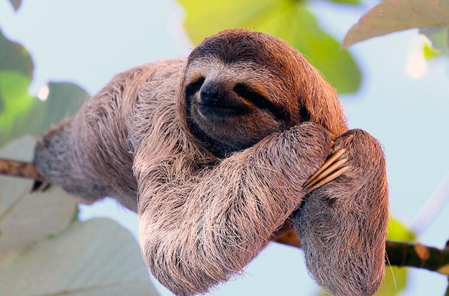 Ленивец — самое ленивое животное