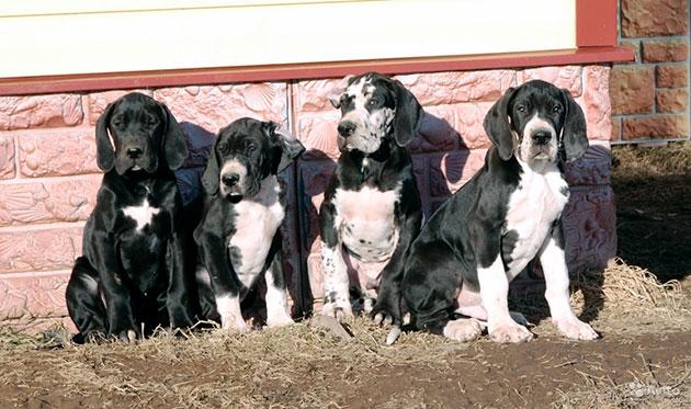 Немецких догов рекомендуют приобретать опытным собаководам