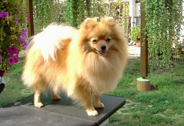 Породы собак: Немецкий шпиц