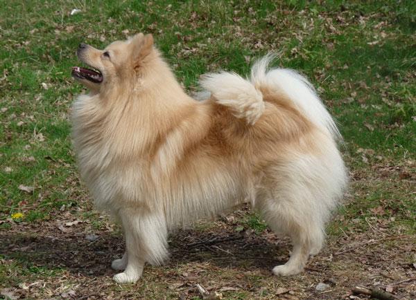 Порода собаки - Немецкий шпиц