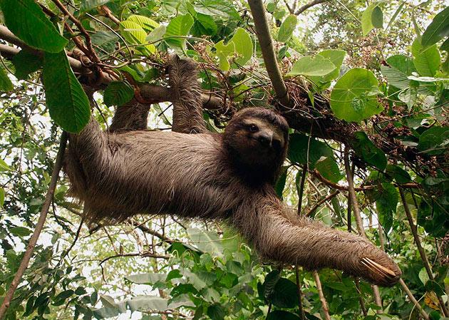 Ленивцы ведут одиночный образ жизни и большую часть времени проводят вися на дереве