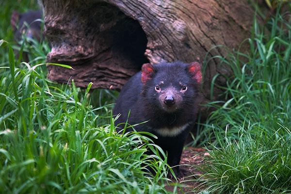 В основном тасманийский дьявол ведет одиночный образ жизни