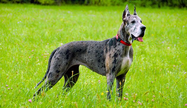 Главной отличительной особенностью немецкого дога является его грациозный вид в сочетание с мощью и размерами собаки