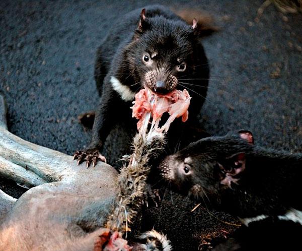 Сумчатый дьявол - это опасный хищник