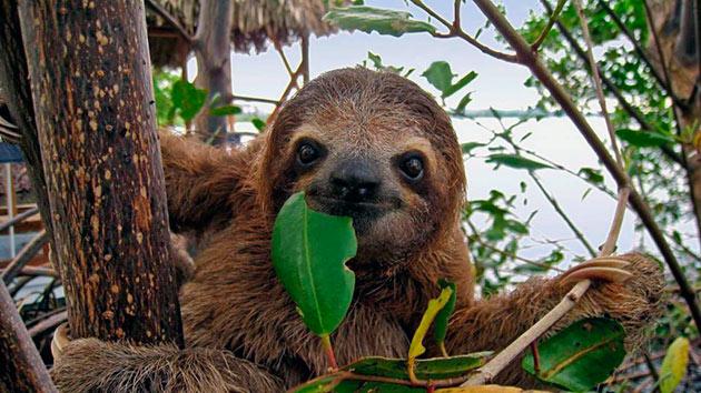 Ленивцы живут на деревьях и их основной рацион это листва