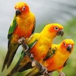 Попугаи Аратинги