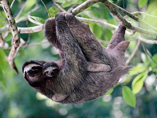 Беременность самки ленивца длиться около полу года ина свет появляется только один детёныш