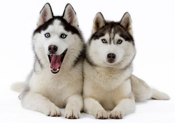 Порода собак: сибирский хаски