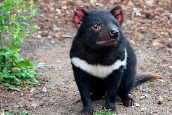 Тасманийский или сумчатый дьявол