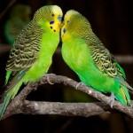 Как ухаживать за волнистыми попугаями?