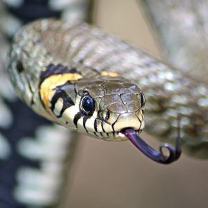 Змеи Сибири