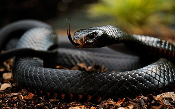 Тройка самых опасных змей - черная мамба