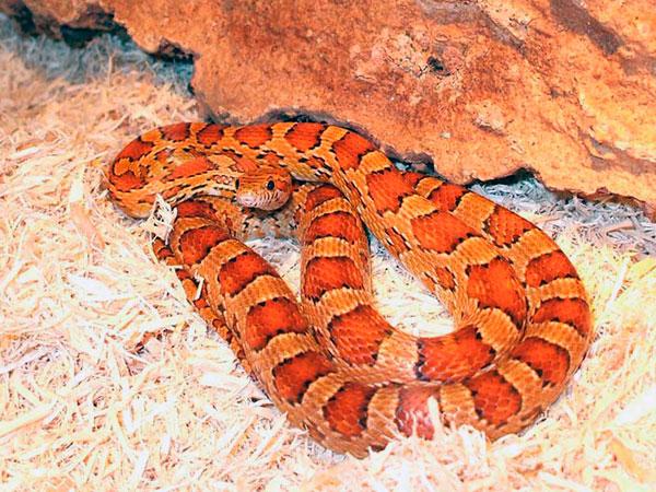 Домашние змеи - Маисовый полоз