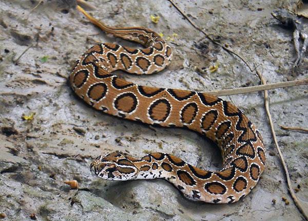 Домашние змеи - Дабойя