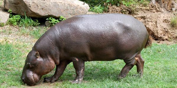 Домашние экзотические животные - Карликовый бегемот
