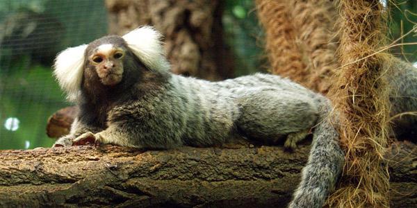 Домашние экзотические животные - Обезьянки – Игрунки