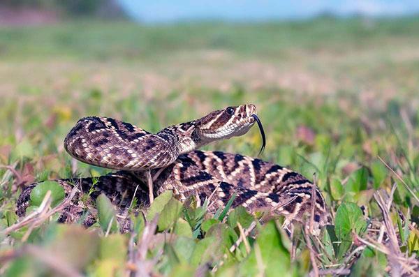Домашние змеи - Гремучник ромбический