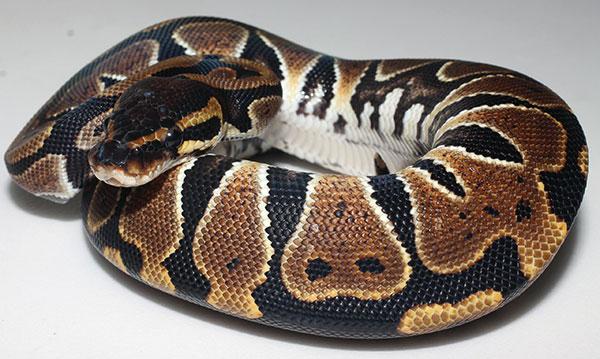 Домашние змеи - Королевский питон