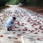 Миграция красных крабов