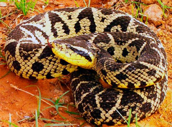 Домашние змеи - Обыкновенная жарарака