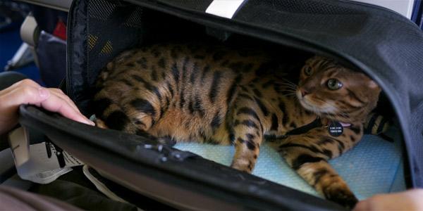 Путешествие с кошкой (правила перевозки в самолете, поезде, автомобиле)