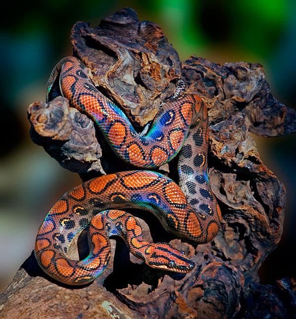 Домашние змеи - Радужный удав