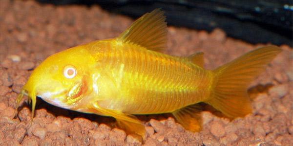Рыбки для маленького аквариума