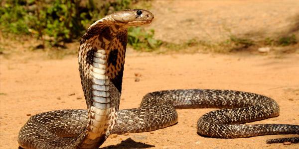Самые опасные змеи - Индийская кобра