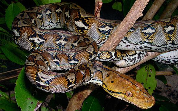 Домашние змеи - Сетчатый питон