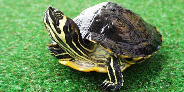 Сколько лет живут домашние черепахи