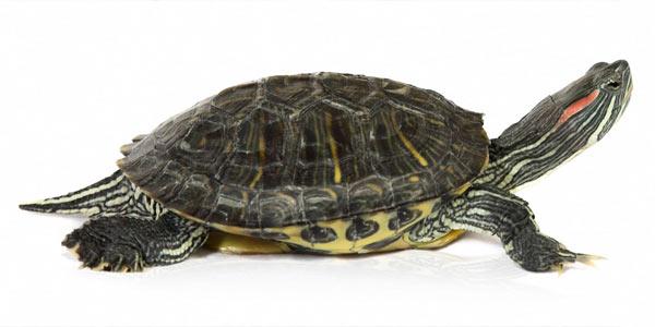 Сколько лет живут домашние черепахи. Красноухая черепаха