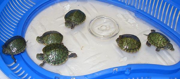 Уход за домашней водоплавающей черепахой в домашних условиях