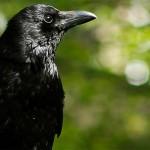 Ворон — мудрая и мистическая птица.