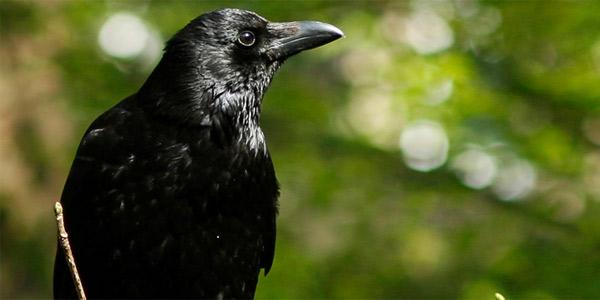 Ворон — мудрая и мистическая птица. Ворон в мифологии