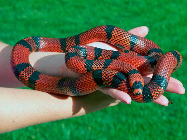 Домашние змеи - Змеи королевские и молочные